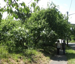 BGT apple trees cropped