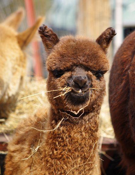 Happy Alpaca Blog