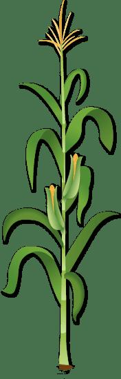 monocotyledons . dicotyledons