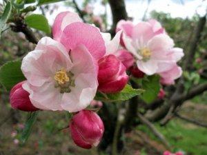 Pink Blossom 2010