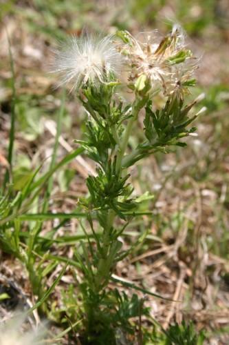 Trampweed Facelis retusa  Walter Reeves The Georgia Gardener