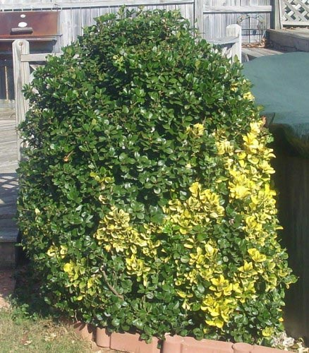 Golden Euonymus  Turning Green  Walter Reeves The