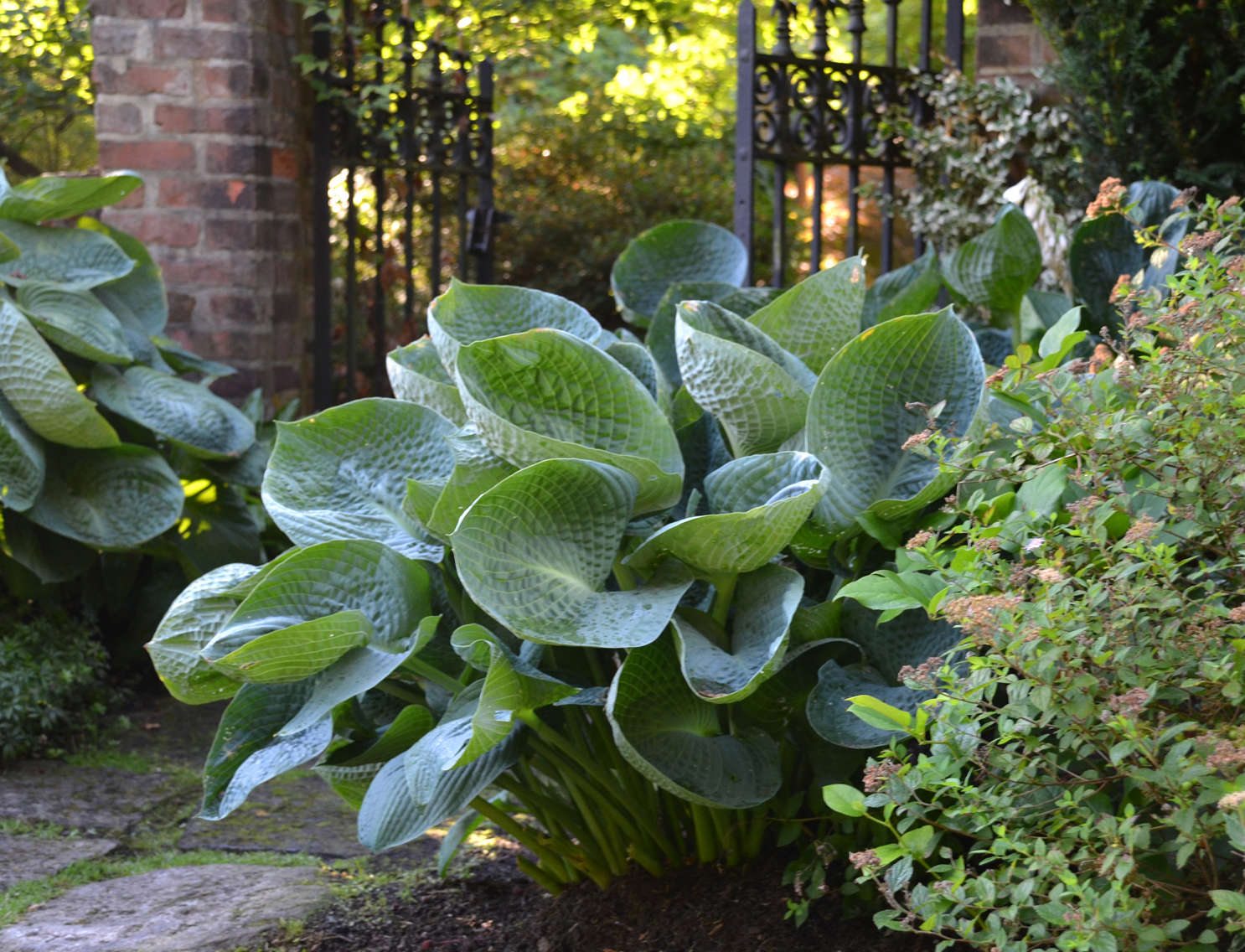 Genial Sun Giant Hostas Sun Sun Mouse Hosta Sun Mouse G Yellow Mini
