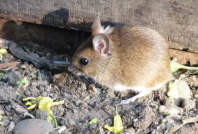 Mouse Disease Information: What Diseases Do Mice Carry?