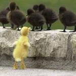 Yellow duckling with black ducklings
