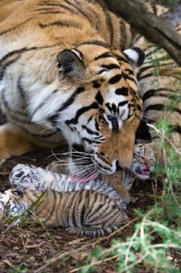 Tiger Julie and cubs at JV Tigers Canyon, South Africa, photo Daryl Balfour