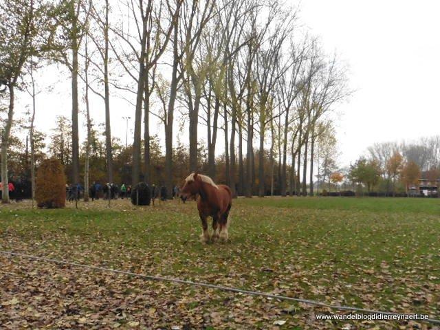 stoeterij van het Brabants trekpaard op het domein Diepensteyn