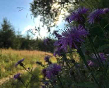 Wildblumen am Wegesrand beim Abendspaziergang im Trufthain.