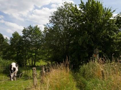 Wie im allgäu fühlte ich mich, als ich über die saftig grünen Wiesen wanderte und neugierig von den Kühen beäugt wurde.