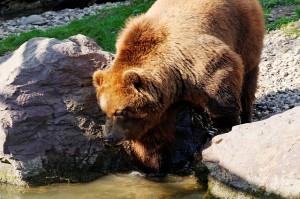 bear-348240_640