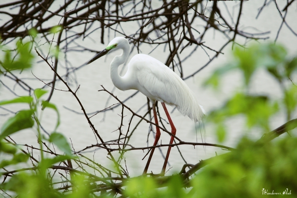 The Egret nesting around