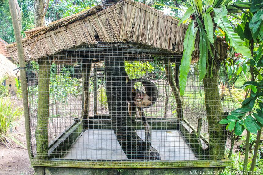 Civet Cat Poop Coffee Bali caged