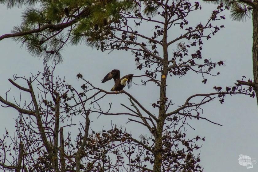 Bald Eagle of Jamestown Island