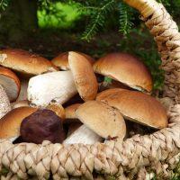 Steinpilz, Eierschwämmli und Co - sammeln und zubereiten