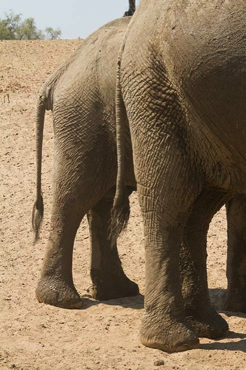 Culs d elephant South Luangwa
