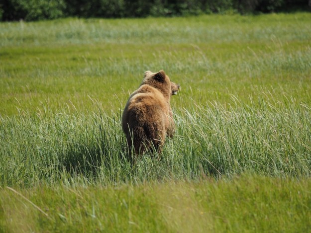 alaska-brown-bear-lake-clark-national-park