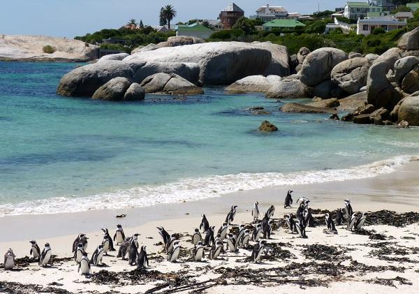 Penguins at Boulder's Beach, South Africa