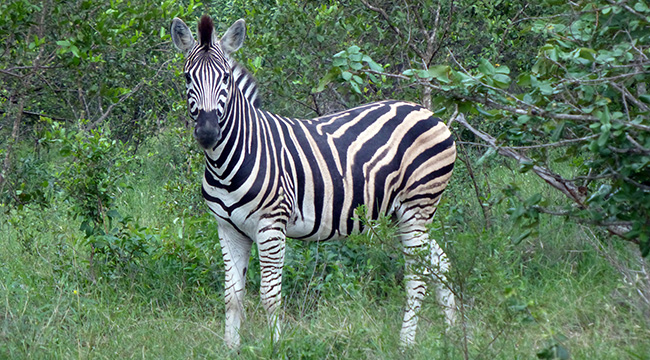 Zebra at Thornybush