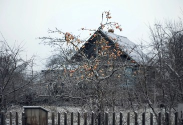 prune an apple tree in winter