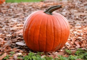pumpkin sitting on wood chips