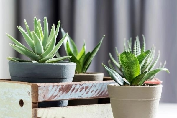 Succulent plants in pots in a wooden box