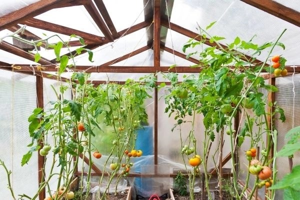 tomato plants growing inside a greenhouse