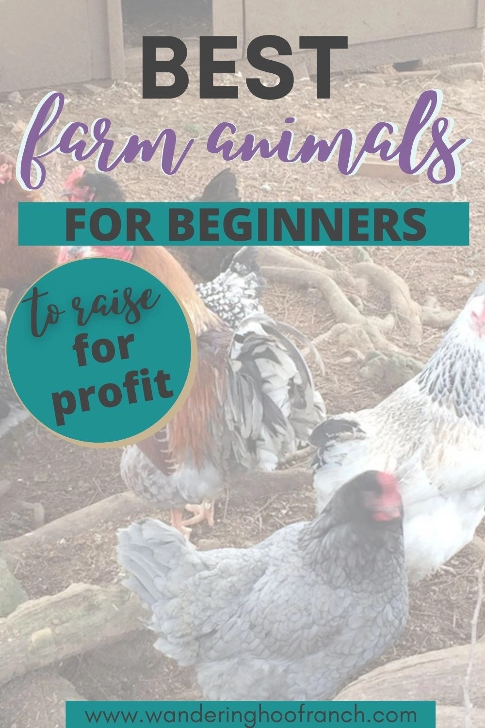 Best Farm animals to raise for beginners pin image overlay on image of chicken flock