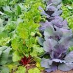 winter vegetables in garden rows