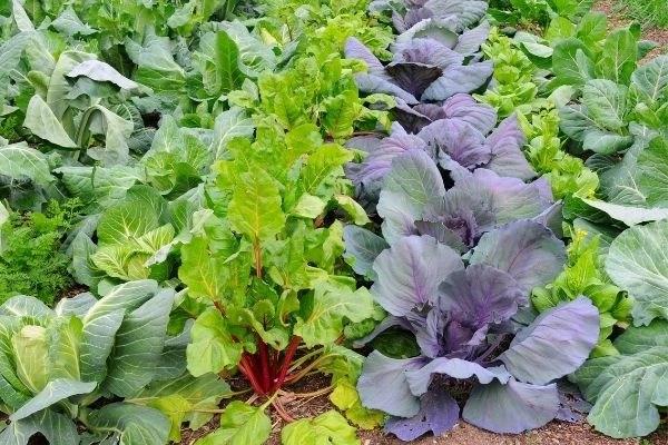 winter vegetables in garden rows, cabbage, Swiss chard, cauliflower, lettuce, broccoli