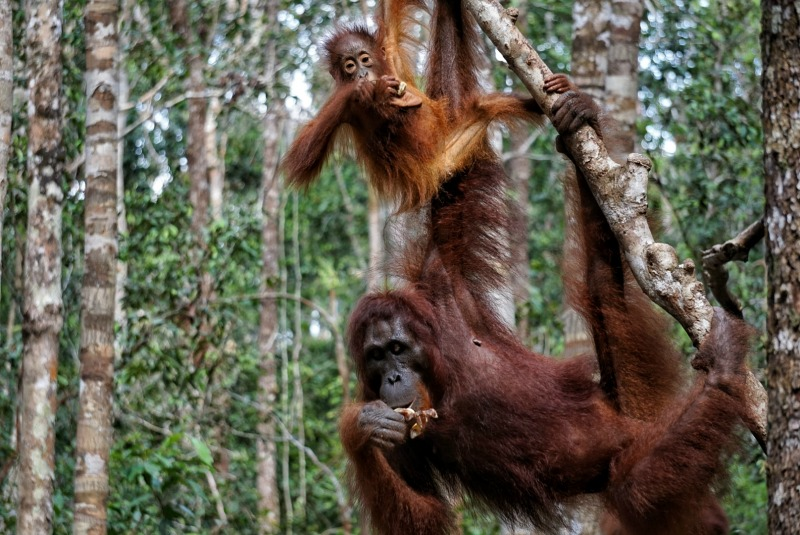 How to See Wild Orangutans