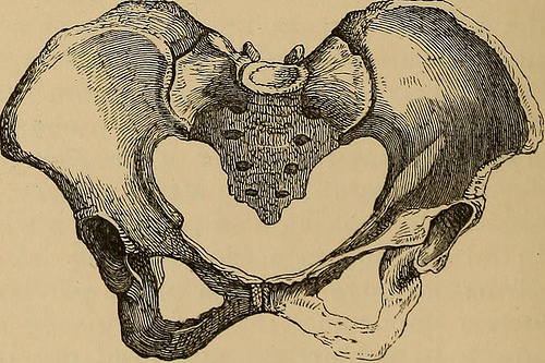 drawing of hip bones and coccyx