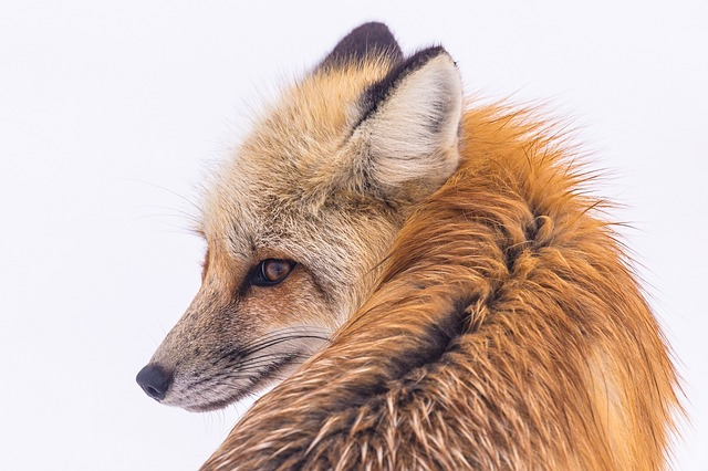 Domesticated foxes ~ Are they like dogs?