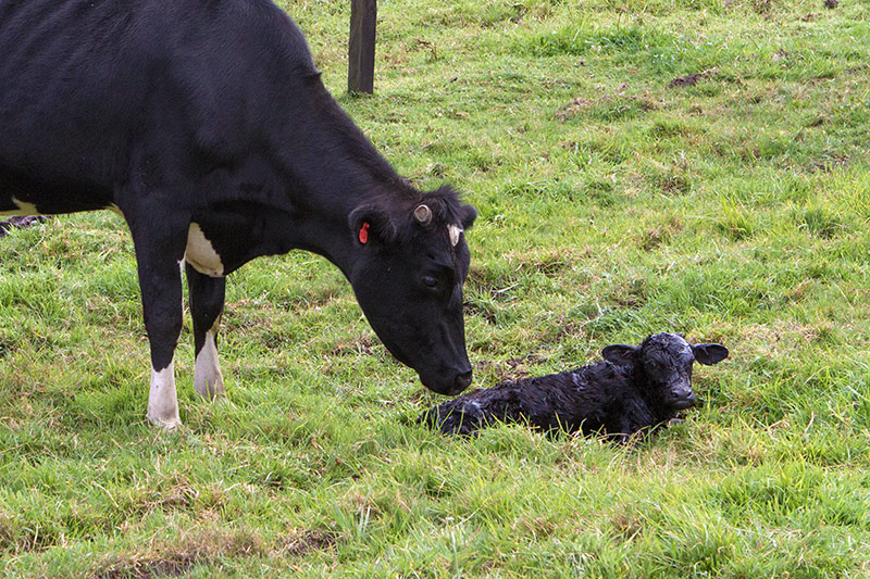 A sow licks a newborn calf clean near Guatavita Colombia with kids