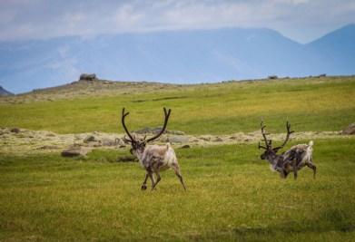 Reindeer race across a mountain plain
