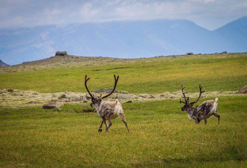 Reindeer race across a mountain plain in Iceland for kids