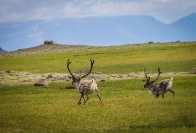 Reindeer race across a mountain plain