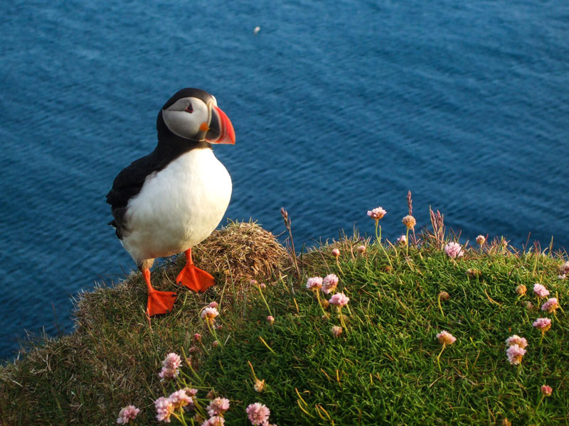 A puffin stands out against the blue ocean in Latrabjarg on the westfjords of Iceland for kids