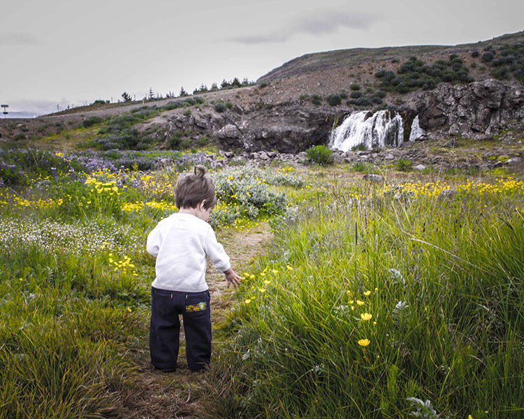 A young child learning about Iceland for kids as he walks among the flowers in Thingvellir National Park near Reykjavik, Iceland
