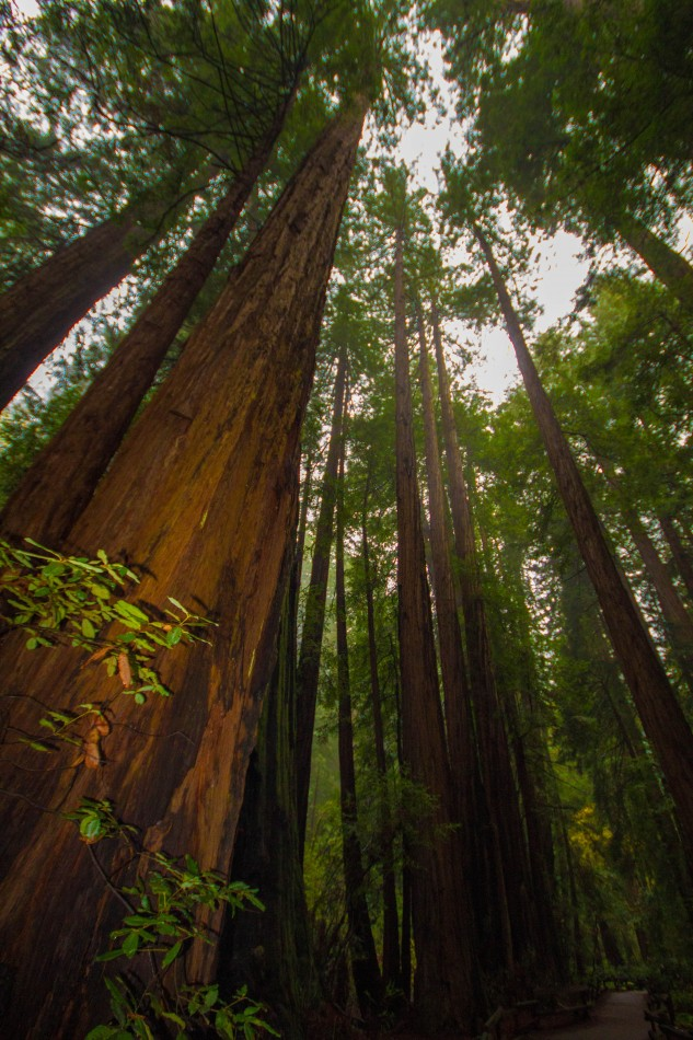 View of soaring Redwoods found in Muir Woods National Monument