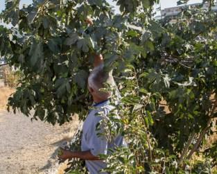 Fig tree in Amman Citadel