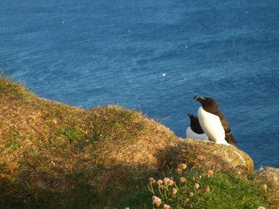 Gannet birds sit on the edge of the Latrajberg cliffs in Iceland