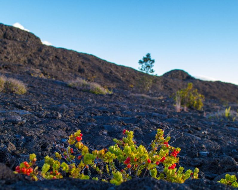 Flowers growing among the lava in Hawaii Volcanoes National Park.