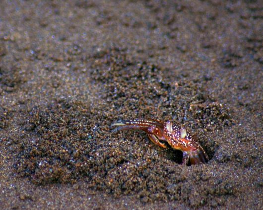A hermit crab climbing out of the sand - finding paradise in the osa peninsula