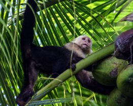 A white faced capuchin monkey examines a coconut in Costa Rica - finding paradise in the osa peninsula