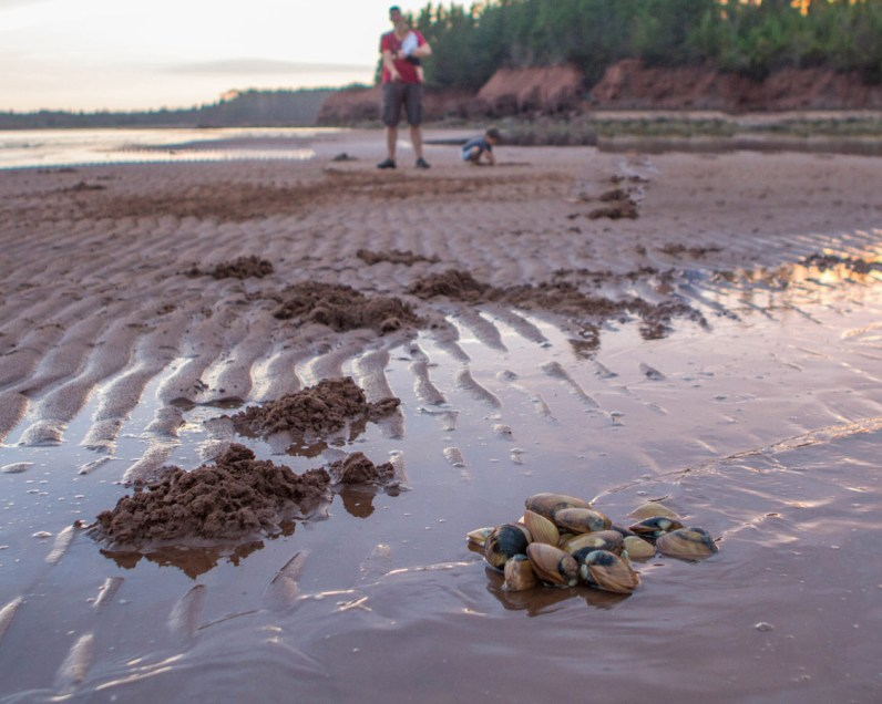 Recently dug up clams sit next to piles of dirt on a beach in Prince Edward Island