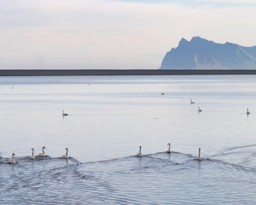 Swans swim in Iceland's East fjords - An Epic 14 Day Iceland Itinerary