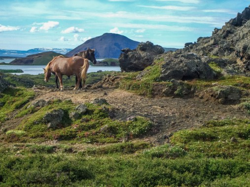 Two Icelandic horses graze at the edge of a lake in Iceland - An Epic 14 Day Iceland Itinerary