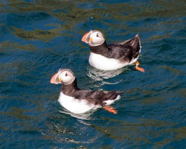 two colourful puffin birds swim in the Icelandic waters - An Epic 14 Day Iceland Itinerary