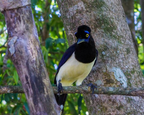 Plush-crested Jay in Iguazu Falls Argentina.