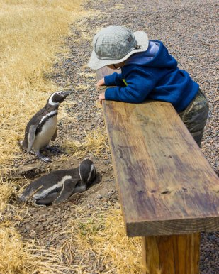 Young boy wearing a hat and a blue sweater leans over a bench to share a gaze with a Magellanic penguin